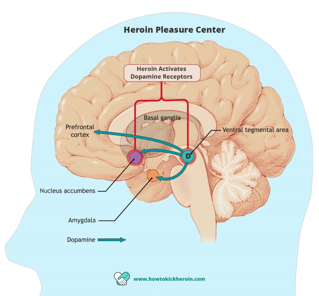 How does heroin work inside the brain